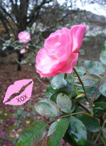 rose with lipstick imprint
